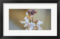 Framed Macro Basil Flowers
