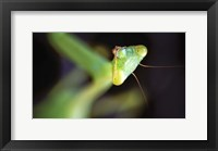 Framed Mantis