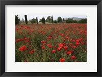 Framed Tuscan Poppies 1