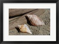 Framed Two Shells Driftwood