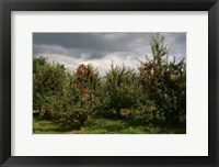 Framed Apple Orchard Dark Sky