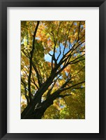 Framed Autumn Maple Vertical