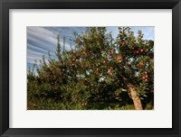 Framed Apple Orchard Streaked Sky