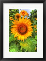 Framed August Sunflowers