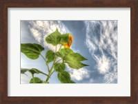 Framed Sunflower Sky