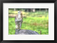 Framed Hawk And Fence