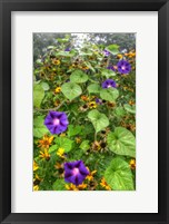 Framed Morning Glories Vertical
