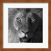 Framed Lion In The Morning Light