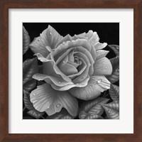 Framed Rose and Raindrops