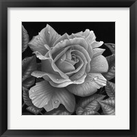 Framed Rose and Raindrops