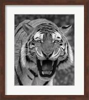 Framed Tiger Growling
