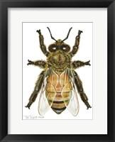 Framed Drone Honey Bee