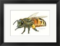 Framed Honey Bee