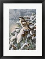 Framed Chickadee In Spruce