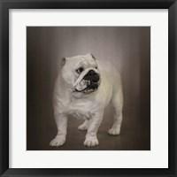 Framed Quiet Observer Bulldog Puppy