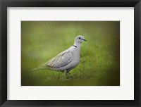 Framed Spring Dove