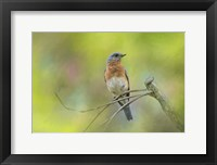 Framed Bluebird On A Spring Day