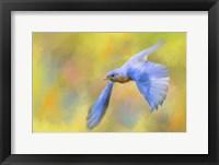 Framed Bluebird Spring Flight