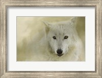 Framed Portrait Of A Timber Wolf
