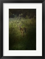 Framed Fawn In The Field