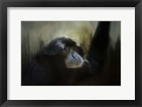 Framed Resting Siamang Ape