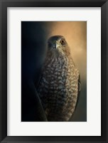 Framed Coopers Hawk At Sunset