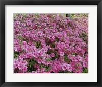 Framed #190  Azaleas