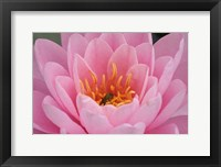 Framed Pond Lily Fly In Pink Lily
