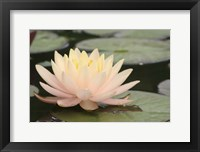 Framed Pond Lily Peach Lily In Pads