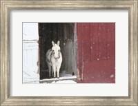 Framed White Pony