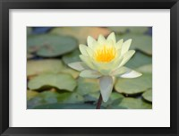 Framed Pond Lily