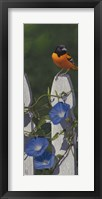 Framed Oriole Morning Glories