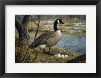 Framed Canadian Goose