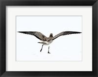 Framed Gull III
