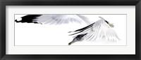 Framed Gull in Flight