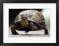 Framed Box Turtle