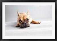 Framed Sad Frenchie