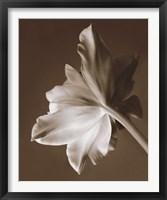 Framed Moonglow Tulip