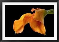 Framed Double Orange Calla