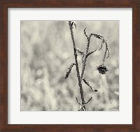 Framed Thistle Study