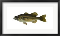 Framed Fish Large Mouth Bass