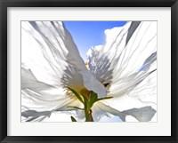 Framed White Poppy In The Sun