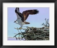 Framed Osprey Aerie