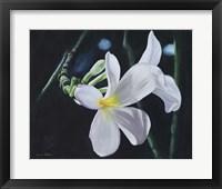 Framed White Frangipani