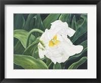 Framed White Tulip Perth1