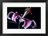 Framed Fancy Pink Lily