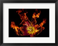 Framed Flaming Tulip