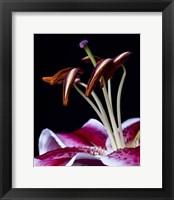 Framed Hot Pink Lily Closeup