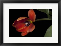 Framed Orange Tulip