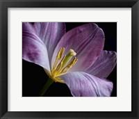 Framed Peekaboo Tulip
